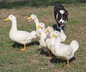 "25August2012 ""Len"" a border collie owned by Jim Bob McEwen of Dunkirk, Indiana practices herding ducks before his appearance at the twentieth annual Kalamazoo Scottish Festival Saturday morning at the Kalamazoo County Expo Center. ( John A. Lacko / Special to the Gazette)"