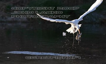 A great egret pulls out a fish at the Water Ranch at the Riperian Institute, Gilbert Arizona.